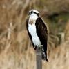 手賀沼湖上の魚鷹ミサゴ