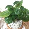 コーヒーの木植え替えとミリオンハートの花のその後