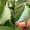 アカボシゴマダラの蛹-2
