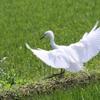 純白のチュウサギ