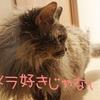 保護されて(腎不全発覚して)1年、我が家に来て8ヶ月の愛猫さくら