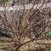 折れた枝が育ったサクランボの木