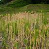 ハダカムギの収穫