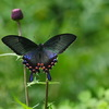 カラスアゲハの魅力 2  多彩な♀の個体変異