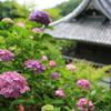 京都西山の善峯寺「あじさい」