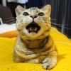 4月前半の #ねこ #cat #猫 どらやきちゃんA