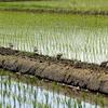 田んぼのキョウジョシギと干潟のキョウジョシギ