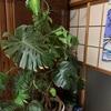 観葉植物 モンステラ