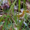 ホトケノザとヒメオドリコソウの見分け方はスカートの種類