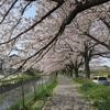日本一の桜の回廊!見沼代用水桜並木の見頃、アクセス、お花見所は?【埼玉・さいたま市】