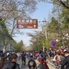 南京  桜を見に鸡鸣寺へ
