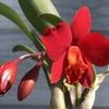 カトレアたちの開花と蕾(ソフロレリア・レッドドール、原種カトレア・ルデマニアナ・ミシマ、リンコレリオカトレア・キングハロルド 'Ping Dig'、カトレア(Rlc. Mikasa Sharbet x Little Toshie))