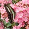 チョウには好きな色がある? 水色の蝶アオスジアゲハが好きなのは赤い花