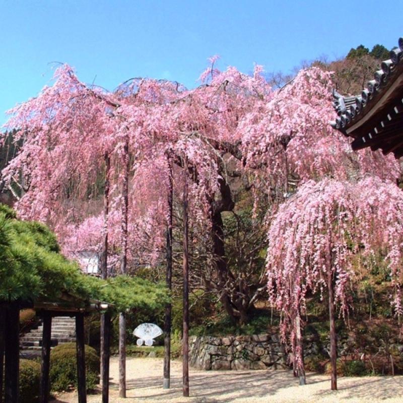 京都・春の桜だより第一弾!里山の絶景〜西山・善峯寺の桜〜