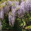 満開の藤の花とクマバチ