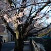 ローキー桜