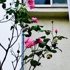 毎日更新!「似顔絵の仕事と日常と」【45日目】〜とりあえず薔薇には棘がある〜の巻
