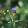 10/8/2017・暑い秋の1日、ヤクシマルリシジミのブルーを楽しんできました