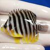 【現物10】シマヤッコ 5.5cm±! 海水魚 生体 15時までのご注文で当日発送【ヤッコ】