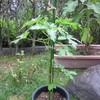 9/5 夏オクラ植えてみました。 26日目