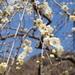 神奈川の花見 湯河原梅林
