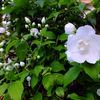 わが家の花たちも夏仕様に