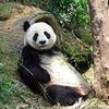パンダの特徴と食生活:web動物図鑑