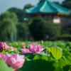 【156】台東区上野公園 蓮香る池之端