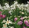 【お花見25】日比谷公園の百合【サイクリングコース10】若洲公園 お台場沿い