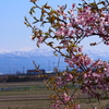 早咲きの桜は満開です(笑)