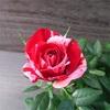 マーブル模様の花〜ポールセンローズ ジジ (Gigi)【ミニバラ】