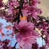 【忍足薫】〜試練に耐える桜の魂。惑う我の弱さを風に乗せ〜