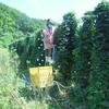 ホップの収穫
