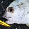 【2020年7月釣果報告】漁港、サーフ、河川での釣果報告。釣れた魚種、釣れたルアーなど。【ライトゲーム】