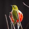 日本 2020年12月27日の自宅周辺の野鳥たち