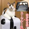 スーツケースに入りたがる我が家の猫!旅行の準備を邪魔しちゃう。末っ子あんず!