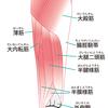 内側ハムストリングスの構成要素:半腱様筋・半膜様筋の解説!効果的な筋トレと特徴について