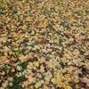 大阪市立大学植物園。大阪府民の森ほしだ園地。紅葉終盤。