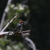 ドングリキツツキ(Acorn Woodpecker)