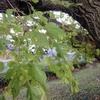 桑の木とお茶の花