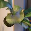 最近の苔玉ビカクシダ 。と、我が家の植物たち。