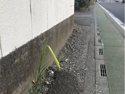 今年も可憐に咲きそうです〜通勤途中のど根性百合〜