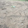 レタスの残りを菜園に定植