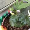4-79   愛すべき野菜たち〜小さなオクラ見つけた!!〜