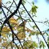 今季初のウソ・アカハラ・コマドリ・エゾムシクイ(大阪城野鳥探鳥 2017/04/15 5:30-12:20)