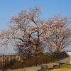 卯辰山「見晴らし台」からの桜
