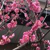 梅は咲いたか?桜はまだかいな
