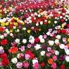 奈良県立馬見丘陵公園は花が一杯(その2チューリップが咲き出しました。)