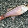 【釣り】この日の釣果:6匹(ネンブツダイ×5、フグ×1)でした。(伊豆北川港)