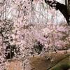 2015年の桜 ーネットでみた悠久山の桜~4